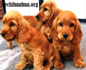 Cachorros de Cocker Spainel