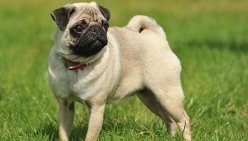 raza de perro Carlino o Pug
