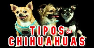 Los 4 Tipos de Chihuahuas