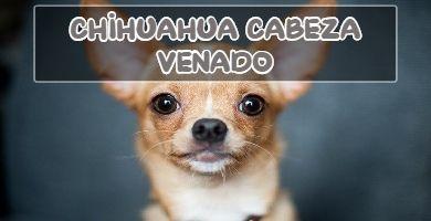chihuahua cabeza de venado o de pera