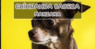 raza de perro Chihuahua cabeza de manzana