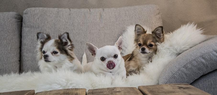 los 4 tipos de chihuahua que hay
