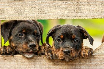 raza de perro cachorro Rottweiler