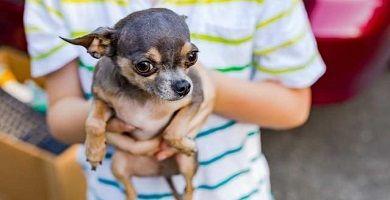 Chihuahuas y niños